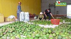 """Đắk Nông: Vì sao ngành chức năng """"rung chuông báo động"""" về cây sầu riêng và cây bơ?"""