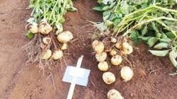 Campuchia chi 3,5 triệu USD phát triển giống khoai tây