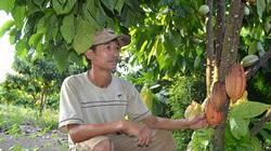 """Cho tiêu, điều """"ở chung"""" với ca cao, nông dân Bình Phước sống khỏe"""