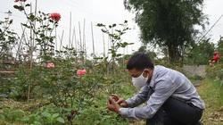 Hải Phòng: Một nông dân thu 1 tỷ đồng mỗi năm nhờ trồng hoa hồng cổ