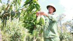 Hơn 283ha xoài Đăk Gằn đạt chứng nhận VietGAP,  nông sản Đăk Nông ra thị trường lớn