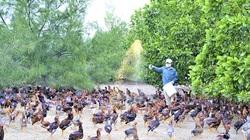Quảng Trị: Thả nuôi loài gà lai đá trên cát, dân ở đây rủng rình tiền tiêu