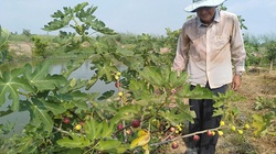 An Giang: Trồng sung lạ, cây thấp tè tè đã ra đầy trái, bán tới 150 ngàn/ký