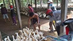 Giá gia cầm hôm nay 23/7: Thương lái tăng mua, người nuôi vịt thịt có lãi khá