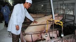 Từ phụ hồ đến chủ trang trại lợn tiền tỷ