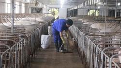 Giá lợn hơi mãi trên đỉnh, đại gia bỏ túi hơn 100 tỷ mỗi tháng