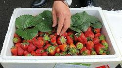 Giữ 13 tấn dâu tây không rõ nguồn gốc tuồn vào Đà Lạt