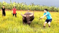 Hải Dương: Kỳ công nghề nuôi trâu chọi, thu tiền tỷ