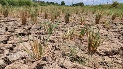 Quảng Ninh: Ruộng cạn khô, mạ gieo rồi phải nhổ cho bò ăn vì không thể cày bừa