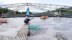 Bình Định: Nông nghiệp công nghệ cao-làm ao nổi trên cạn để nuôi tôm, thu 4-5 tỷ/vụ