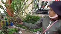 Video: Lan rừng vỉa hè và câu chuyện mưu sinh của sơn nữ Bahnar xinh đẹp ở phố núi Gia Lai