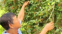 An Giang: Trồng dâu tằm lấy trái cho thu nhập ổn định