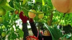 Quảng Trị: Ngắm vườn chanh dây lúc lỉu, thu cả tấn trái trồng trên đất đồi gò