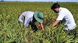 Đồng Tháp: Đây là lý do nông dân trồng lúa giống lại mừng vui khi vào Hội quán