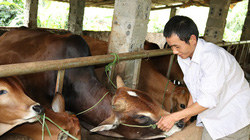 """Vay 40 triệu nuôi bò, sau 3 năm """"đẻ"""" ra 70 triệu, nhà nông Sơn La thoát nghèo"""