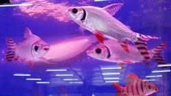 TP Hồ Chí Minh: Hơn 20 triệu con cá cảnh xuất khẩu đi đâu mà thu về hơn 22 triệu USD?