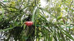 Trồng thanh long tầm gửi trên cây mắm ở vùng nước mặn: Bí quyết không ai ngờ tới