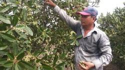 Trồng thứ cây dại từng mọc lăn lóc ở kênh, một nông dân tỉnh Long An bán trái thu bộn tiền