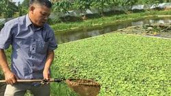 Phú Thọ: Ông Chủ tịch rủ cả làng nuôi loài ốc lang thang ăn bèo mà thu lời lớn