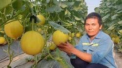 Thanh Hóa: Nông nghiệp công nghệ cao-Trồng dưa vàng nhìn no mắt thế này, 8X lãi hàng trăm triệu