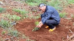 """Đắk Nông: Cảnh báo """"nóng"""" về loại cây tỷ đô, dân trồng lung tung, giống tù mù"""