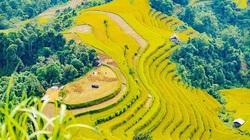 Ngắm biển lúa vàng Hoàng Su Phì và trọn vẹn những mùa hoa rất mộc của Hà Giang