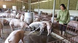 """Bí quyết """"bỏ túi' tiền tỷ từ nuôi lợn thịt của một nông dân Sơn La"""