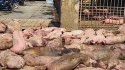 TT-Huế: Phát hiện 89 con lợn chết ngay trước lò mổ