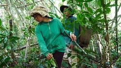 Bình Thuận: Dân nườm nượp lên núi hái thứ lá này làm gì mà vắt cắn chảy máu vẫn ham đi?