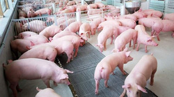 Hộ chăn nuôi lợn không có đủ nguồn lực để đầu tư tái đàn
