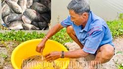 Sóc Trăng: Thả tôm càng xanh, thả cá rô phi nuôi trong ruộng lúa, 2 con đều nhanh lớn, bán đắt hàng