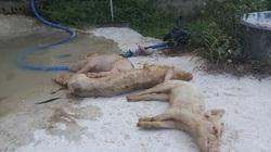 Nghệ An: Lợn giống bị nhiễm tai xanh, mua về chết đồng loạt