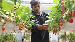 Đà Lạt: Dâu tây và quả hồng vẫn cạnh tranh gay gắt với hàng nhập từ Trung Quốc