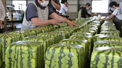 Dưa hấu vuông đã sẵn sàng đi khắp Nhật Bản