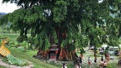 Khánh Hòa: Chuyện 2 cây da và 1 cây sanh quấn nhau hơn 500 năm tạo nên huyền bí Mộc thần