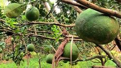 Trà Vinh: Nông dân thu nhập cao nhờ sản xuất theo hướng hữu cơ an toàn