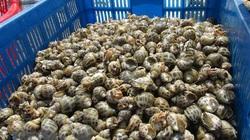 Nguồn cung khan hiếm, giá ốc hương thương phẩm tăng cao trở lại