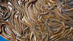 Giá lươn giống ở miền Tây tăng cao chưa từng có, 1 con bé tý bán 5.000 đồng và đây là lý do