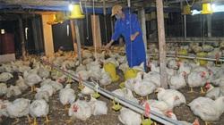 Giá gia cầm hôm nay 4/7: Gà thịt công nghiệp tiếp tục tụt giá, người nuôi lo lắng