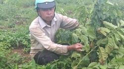 Lâm Đồng: Một nông dân 9 lần bị chặt phá hàng trăm cây cà phê
