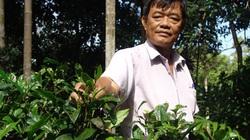 """Đồng Nai: """"Rót"""" 500 triệu cứu vườn trà cổ, giá mỗi ký trà hơn 500 ngàn đồng"""