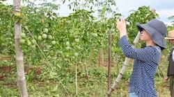 4 giải pháp phát triển bền vững cây triệu đô chanh leo