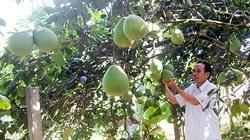 """""""Lạc"""" vào làng trồng thanh trà ở tỉnh Quảng Nam, cây nào cây nấy sai quả muốn gãy cả cành"""