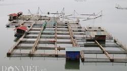"""""""Làm nương"""" trên sông Đà, cho cá ăn tỏi cộng thêm 2 thứ này, dân thu nhập hàng trăm triệu"""