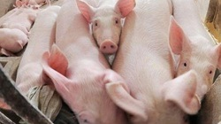 Giá heo hơi hôm nay 7/7: Giá lợn hơi tại Thái Lan 1 tuần lên 10 giá