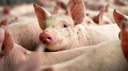 Giá heo hơi hôm nay 19/7: Doanh nghiệp nào không phối hợp giảm giá lợn hơi?