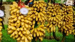 Khôi phục và bảo tồn thành công giống chuối quê làng Vũ Đại
