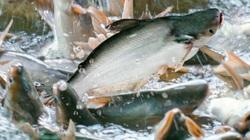 Độc chiêu thuần hóa, bán cá tra tươi sống cho người dân miền Bắc của ông chủ trại ở Hải Dương