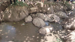 Hà Nội: Cơ quan chức năng vào cuộc vụ 14 con trâu lăn ra chết bất thường nghi bị đầu độc