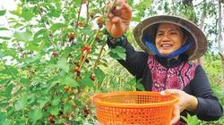 """Cà Mau: Mang thứ """"cây lạ"""" về nhà trồng, tha hồ hái trái, bán tới 100 ngàn đồng mỗi ký"""